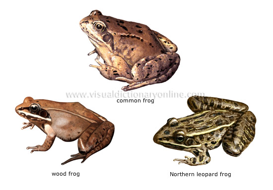 animal kingdom amphibians examples of amphibians 1 image