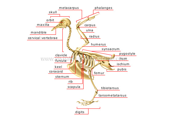 Brilliant Animal Kingdom Birds Bird Skeleton Of A Bird Image Visual Wiring Digital Resources Funapmognl