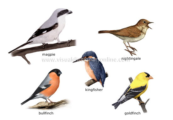 examples of birds [2] - Visual Dictionary Online