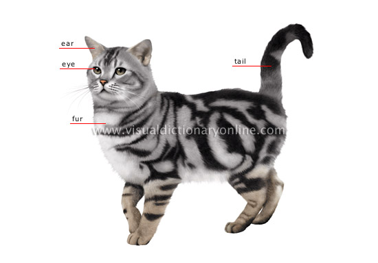 morphology of a cat
