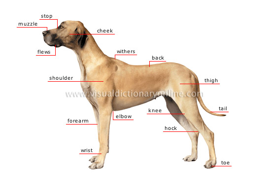 morphology of a dog [1]