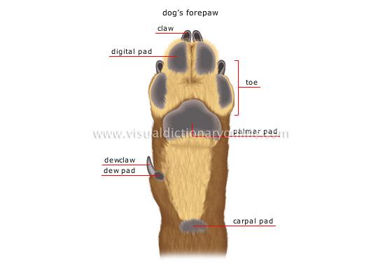 animal kingdom carnivorous mammals dog morphology