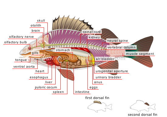 Perch: snub-nosed bony freshwater fish with an oval body and a spiny ...