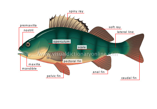 Animal Kingdom Fishes Bony Fish Morphology Of A Perch Image
