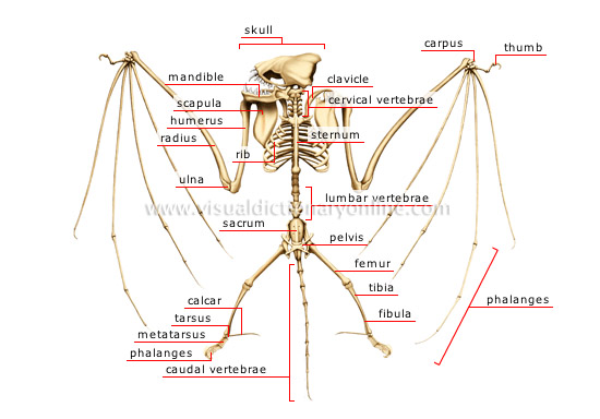skeleton of a bat