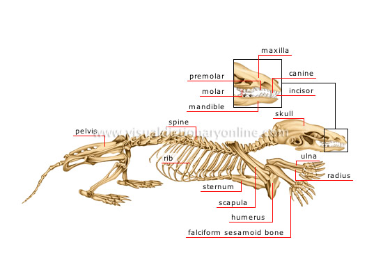 skeleton of a mole