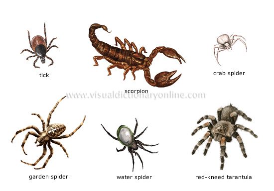 Examples Of Arachnids  Examples Of