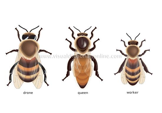 به ترتیب از راست به چپ زنبور کارگر زنبور ملکه و زنبور نر
