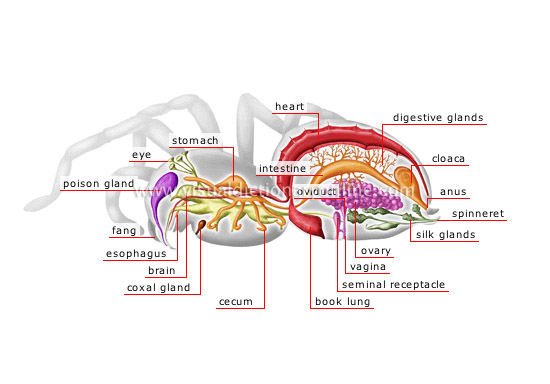 anatomy of a female spider