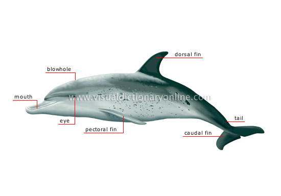 morphology of a dolphin