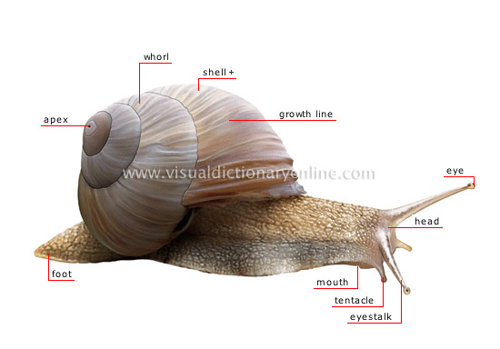 morphology of a snail - Visual Dictionary Online