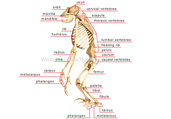 animal kingdom :: primate mammals :: gorilla :: skeleton of a, Skeleton