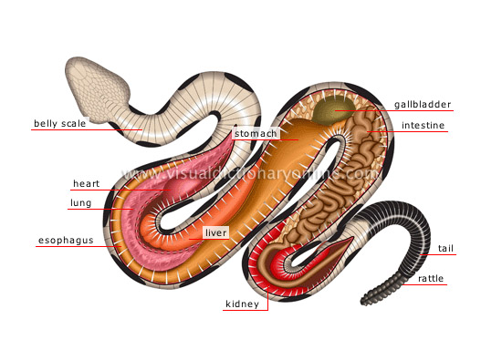 anatomy of a venomous snake