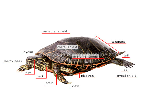 morphology of a turtle
