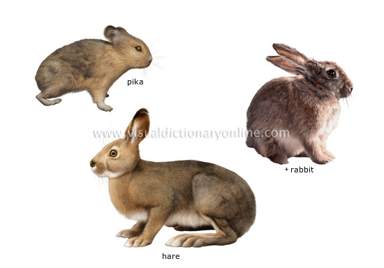 examples of lagomorphs - Visual Dictionary Online