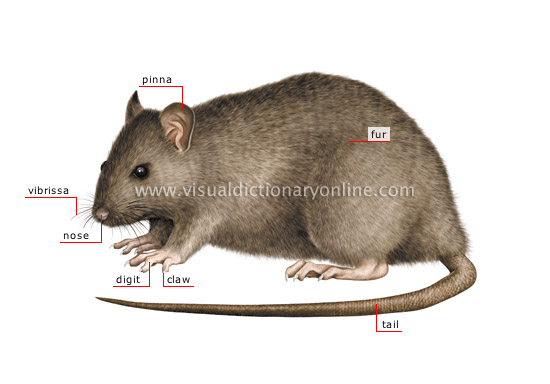 Medical Page |Rat Pinna
