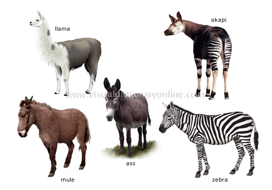 examples of ungulate mammals [3]