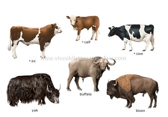examples of ungulate mammals - Visual Dictionary Online