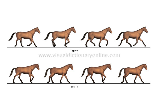 ANIMAL KINGDOM :: UNGULATE MAMMALS :: HORSE :: GAITS [1] image ...