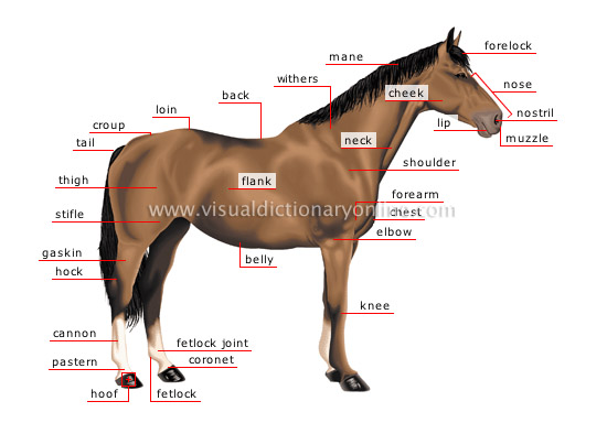Animal Kingdom Ungulate Mammals Horse Morphology Of A Horse
