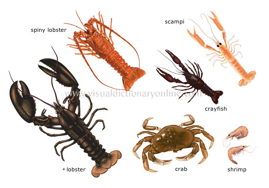 FOOD & KITCHEN :: FOOD :: CRUSTACEANS image - Visual Dictionary Online