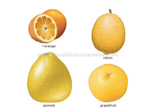 citrus fruits [2] - Visual Dictionary Online