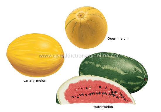 melons [2] - Visual Dictionary Online