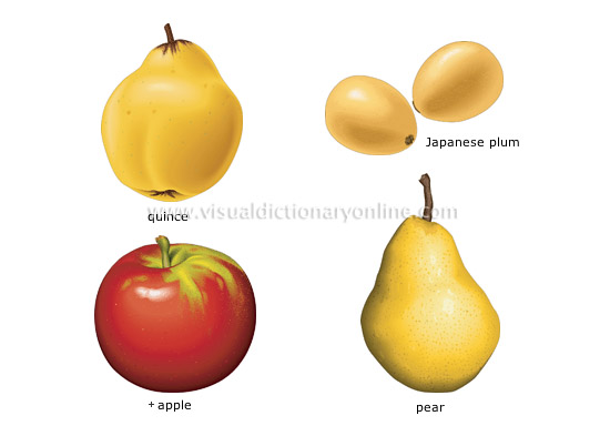 pome fruits - Visual Dictionary Online