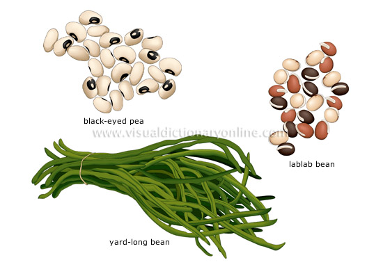dolichos beans - Visual Dictionary Online