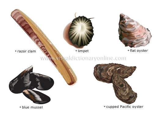 Food Kitchen Food Mollusks 4 Image Visual Dictionary Online