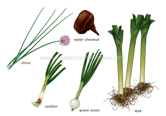 bulb vegetables [1] - Visual Dictionary Online