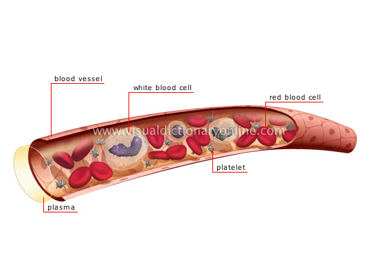HUMAN BEING :: ANATOMY :: BLOOD CIRCULATION :: COMPOSITION OF THE ...