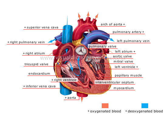 HUMAN BEING :: ANATOMY :: BLOOD CIRCULATION :: HEART image - Visual ...