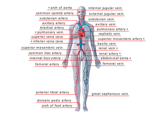 Human Being Anatomy Blood Circulation Principal Veins And