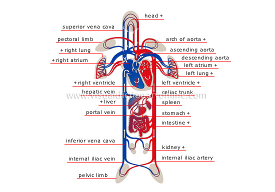 Human Being Anatomy Blood Circulation Schema Of Circulation