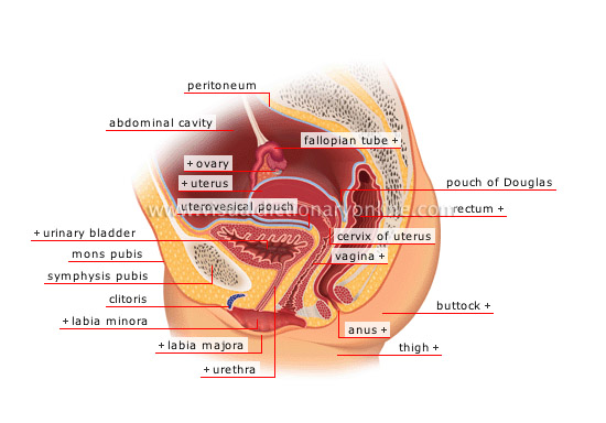 HUMAN BEING :: ANATOMY :: FEMALE REPRODUCTIVE ORGANS :: SAGITTAL ...