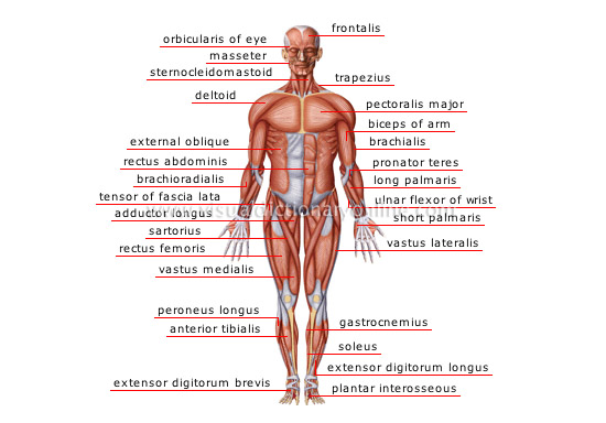 HUMAN BEING :: ANATOMY :: MUSCLES :: ANTERIOR VIEW image - Visual ...