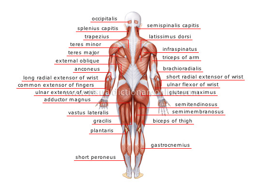 human being :: anatomy :: muscles :: posterior view image - visual, Muscles