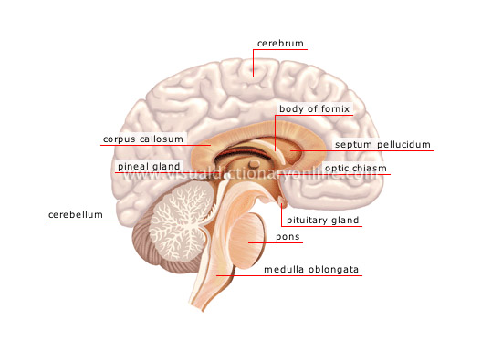 central nervous system cerebellar system essay