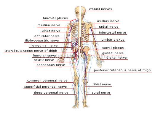 Human Being Anatomy Nervous System Peripheral Nervous