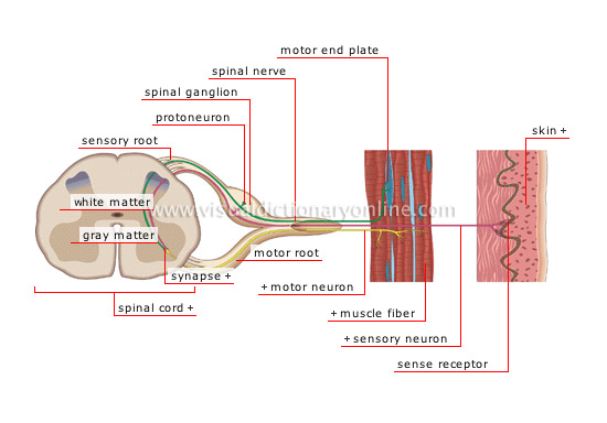 Human Being Anatomy Nervous System Sensory Impulse Image