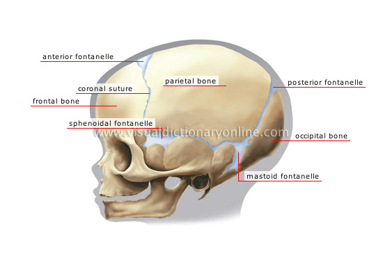 human being :: anatomy :: skeleton :: child's skull image - visual, Skeleton
