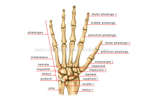 human being anatomy skeleton hand image visual dictionary rh visualdictionaryonline com hand bones diagram Skeleton Hand Joints Diagram