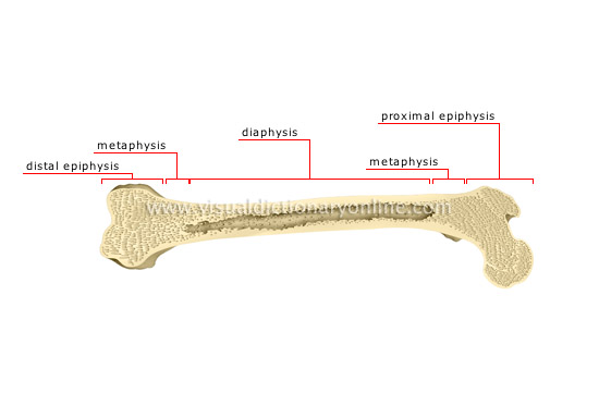 HUMAN BEING :: ANATOMY :: SKELETON :: PARTS OF A LONG BONE image ...