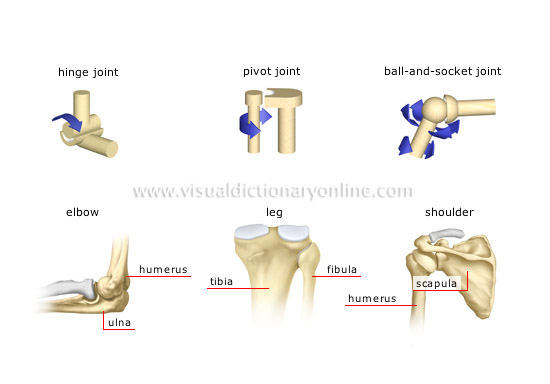 HUMAN BEING :: ANATOMY :: SKELETON :: TYPES OF SYNOVIAL JOINTS [1 ...
