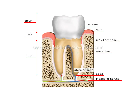 Human Being Anatomy Teeth Cross Section Of A Molar 1