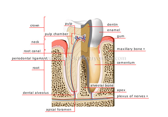 HUMAN BEING :: ANATOMY :: TEETH :: CROSS SECTION OF A MOLAR [2 ...