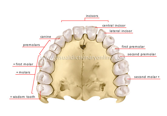 human being :: anatomy :: teeth :: human denture image - visual, Human Body