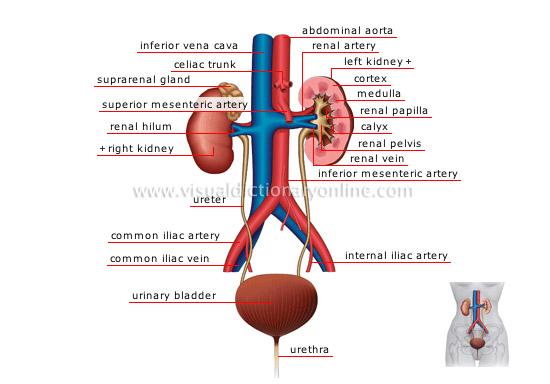 external image urinary-system.jpg