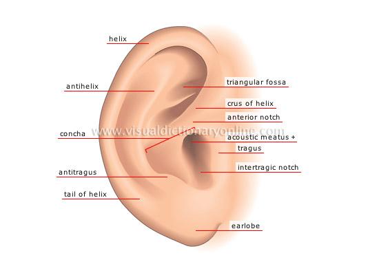 Human Being Sense Organs Hearing Pinna Image Visual